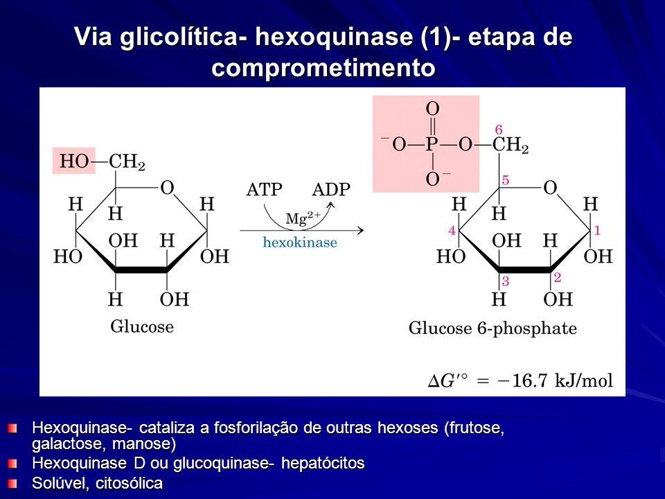 Via glicolítica- hexoquinase (1)- etapa de comprometimento Hexoquinase- cataliza a fosforilação de outras hexoses (frutose, galactose, manose) Hexoqui