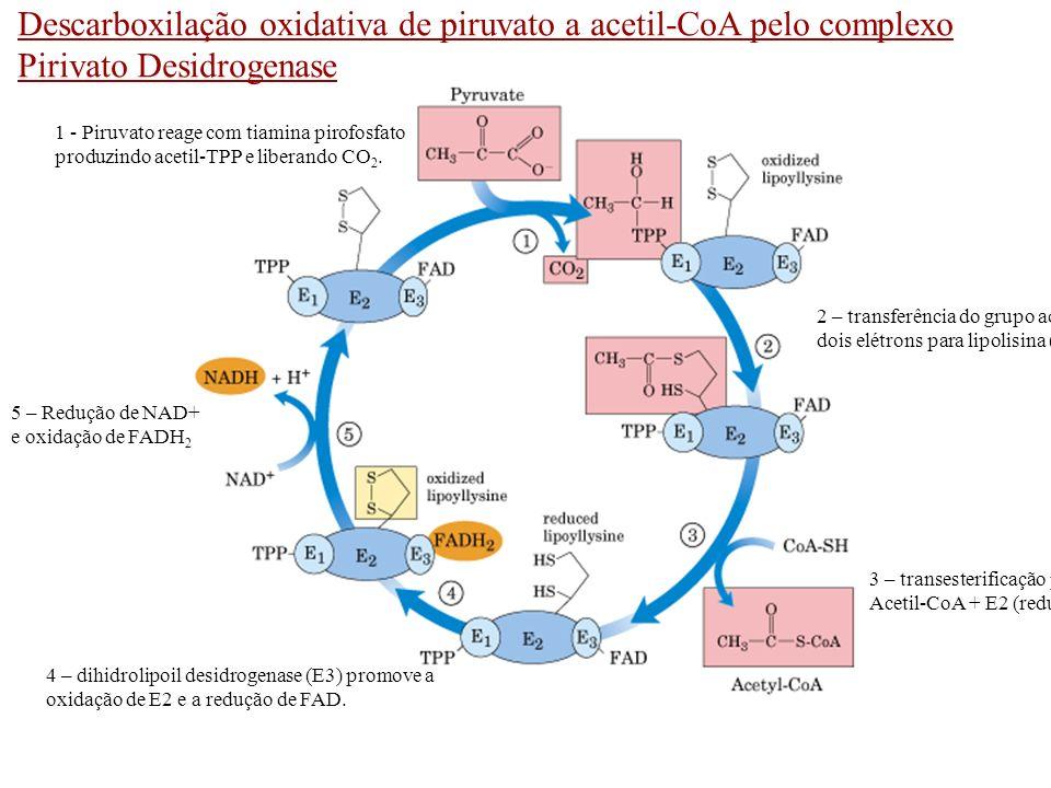 Descarboxilação oxidativa de piruvato a acetil-CoA pelo complexo Pirivato Desidrogenase 1 - Piruvato reage com tiamina pirofosfato produzindo acetil-T