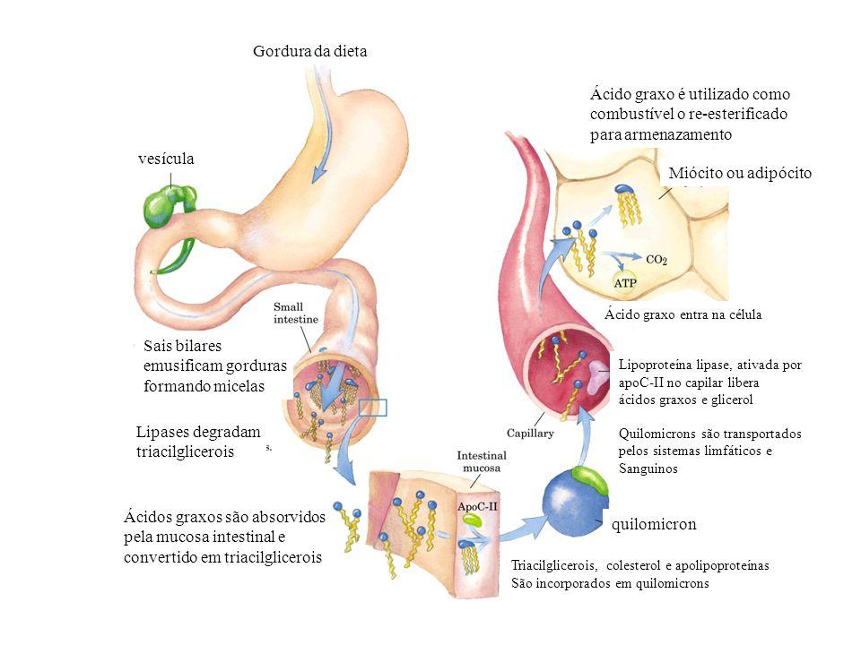 vesícula Gordura da dieta Sais bilares emusificam gorduras formando micelas Lipases degradam triacilglicerois Ácidos graxos são absorvidos pela mucosa
