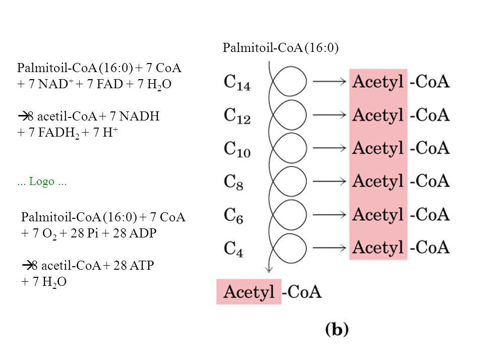 Palmitoil-CoA (16:0) Palmitoil-CoA (16:0) + 7 CoA + 7 O 2 + 28 Pi + 28 ADP 8 acetil-CoA + 28 ATP + 7 H 2 O Palmitoil-CoA (16:0) + 7 CoA + 7 NAD + + 7