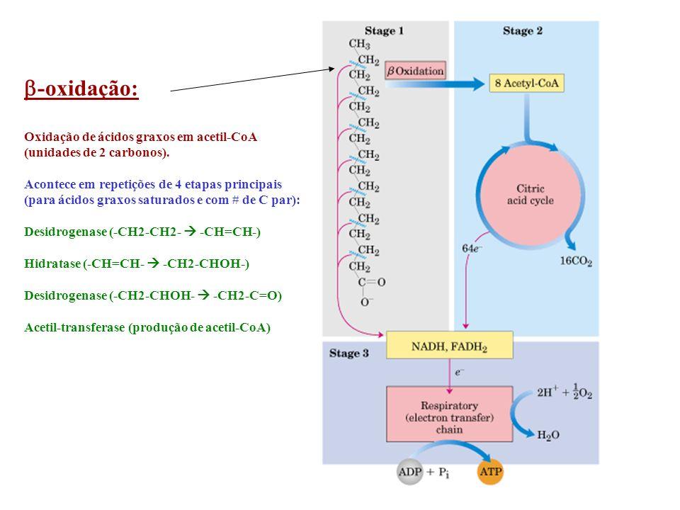 -oxidação: Oxidação de ácidos graxos em acetil-CoA (unidades de 2 carbonos). Acontece em repetições de 4 etapas principais (para ácidos graxos saturad