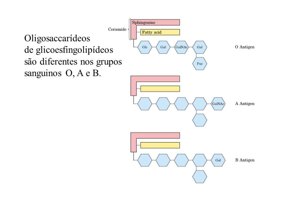 Oligosaccarídeos de glicoesfingolipídeos são diferentes nos grupos sanguinos O, A e B.