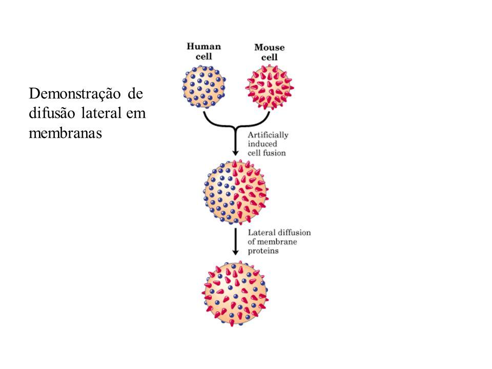 Demonstração de difusão lateral em membranas