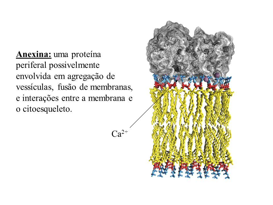 Anexina: uma proteína periferal possivelmente envolvida em agregação de vessículas, fusão de membranas, e interações entre a membrana e o citoesquelet