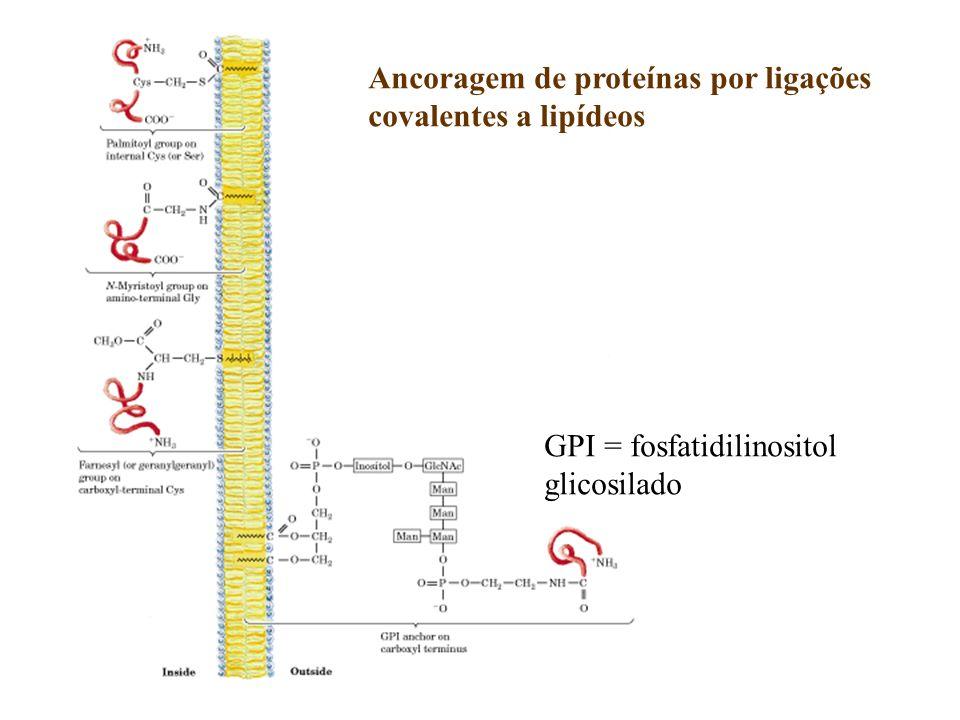 Ancoragem de proteínas por ligações covalentes a lipídeos GPI = fosfatidilinositol glicosilado
