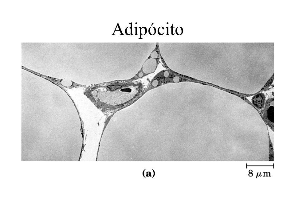Restrição de movimento de proteínas ligadas ao citoesqueleto