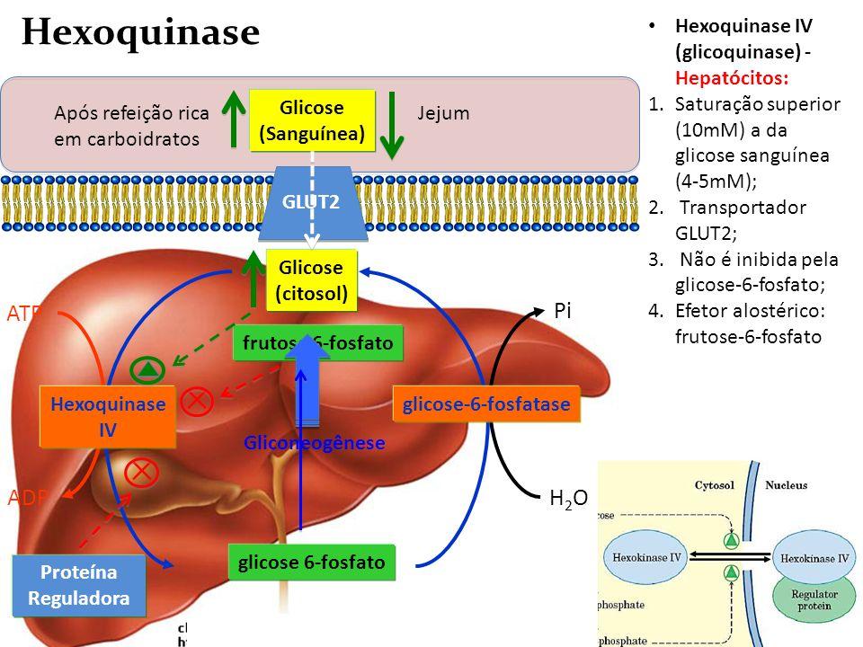 A A Adenili-ciclase ATP ADP Glicose (citosol) glicose 6-fosfato Hexoquinase IV H2OH2O Pi glicose-6-fosfatase Hexoquinase IV (glicoquinase) - Hepatócit