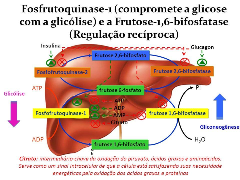 Adenili-ciclase frutose 6-fosfato frutose 1,6-bifosfato ATP ADP Fosfofrutoquinase-1 H2OH2O Pi frutose 1,6-bifosfatase ATP ADP AMP Citrato Frutose 2,6-