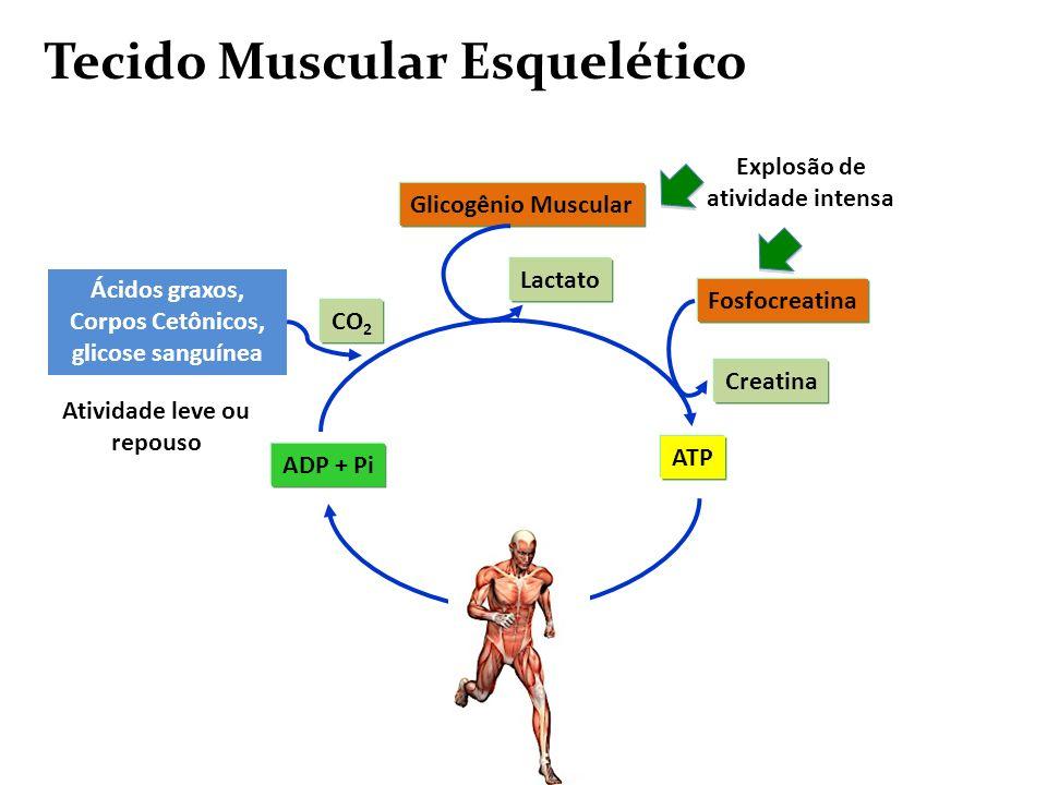 Explosão de atividade intensa Ácidos graxos, Corpos Cetônicos, glicose sanguínea Tecido Muscular Esquelético ADP + Pi ATP Fosfocreatina Creatina Glico