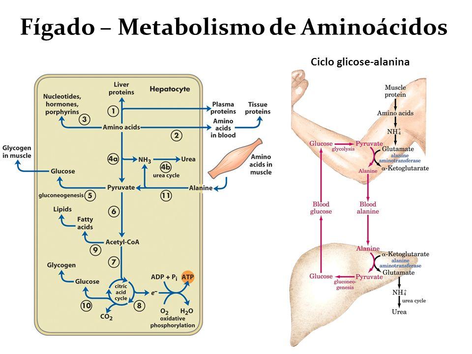 Fígado – Metabolismo de Aminoácidos Ciclo glicose-alanina