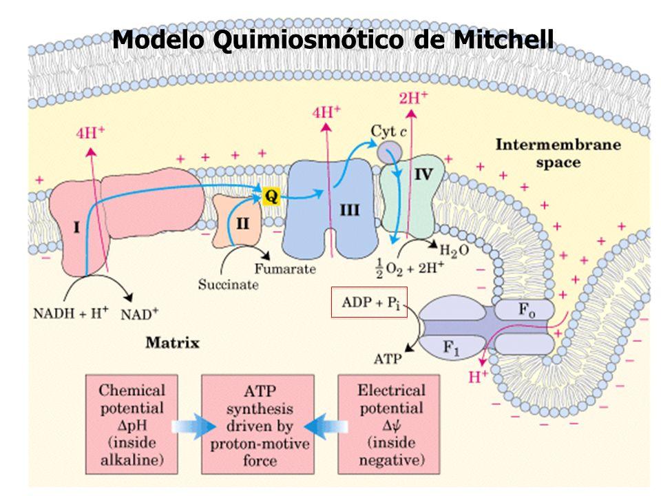 Modelo Quimiosmótico de Mitchell