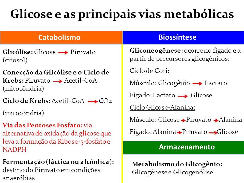 Glicose e as principais vias metabólicas Glicólise: Glicose Piruvato (citosol) Conecção da Glicólise e o Ciclo de Krebs: Piruvato Acetil-CoA (mitocônd