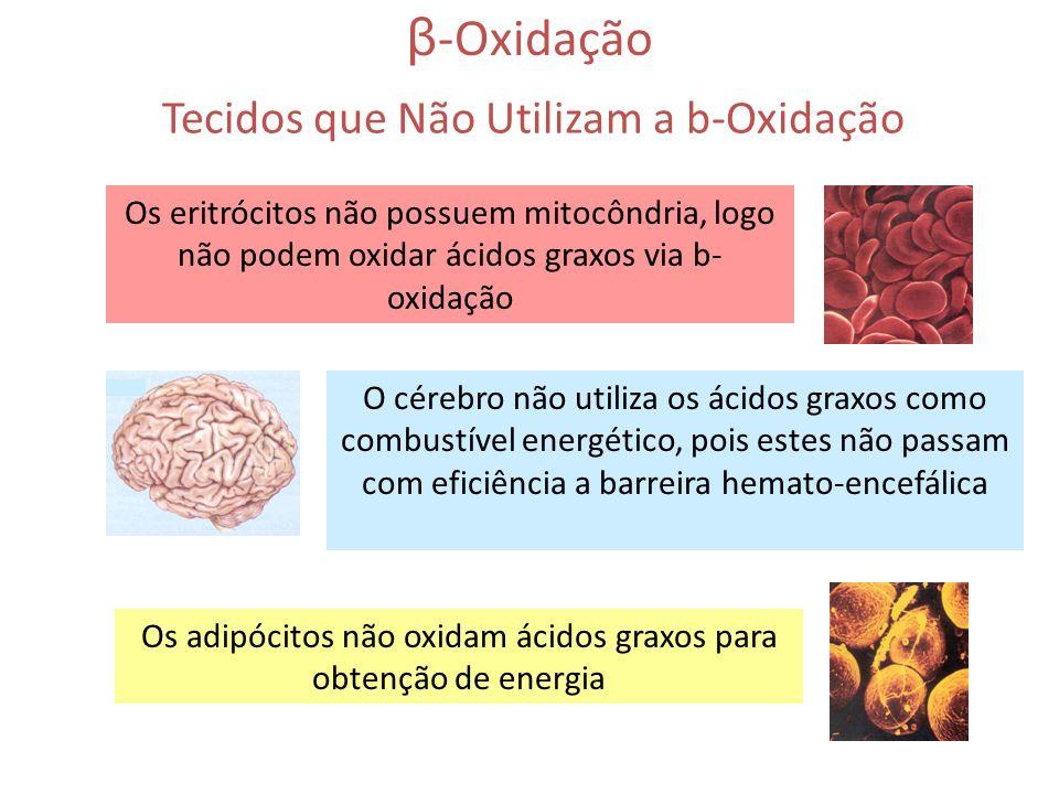 β -Oxidação Os eritrócitos não possuem mitocôndria, logo não podem oxidar ácidos graxos via b- oxidação O cérebro não utiliza os ácidos graxos como co
