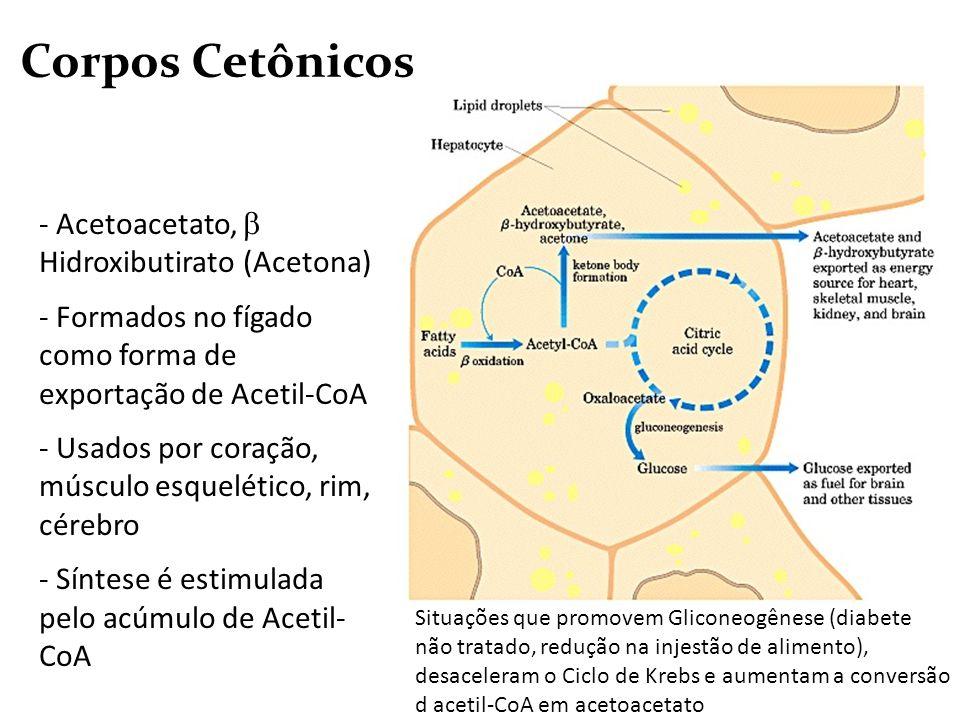 Corpos Cetônicos Situações que promovem Gliconeogênese (diabete não tratado, redução na injestão de alimento), desaceleram o Ciclo de Krebs e aumentam