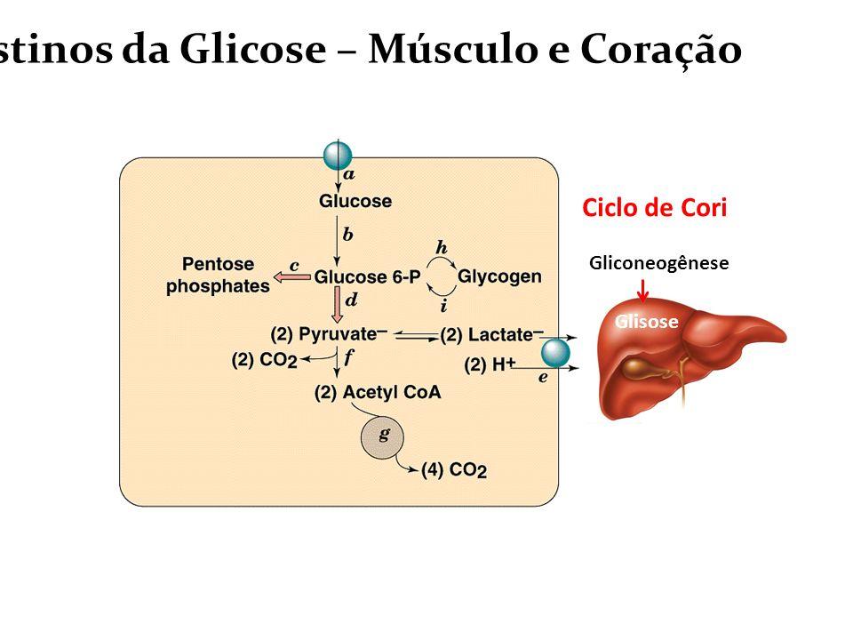 Destinos da Glicose – Músculo e Coração Glisose Gliconeogênese Ciclo de Cori