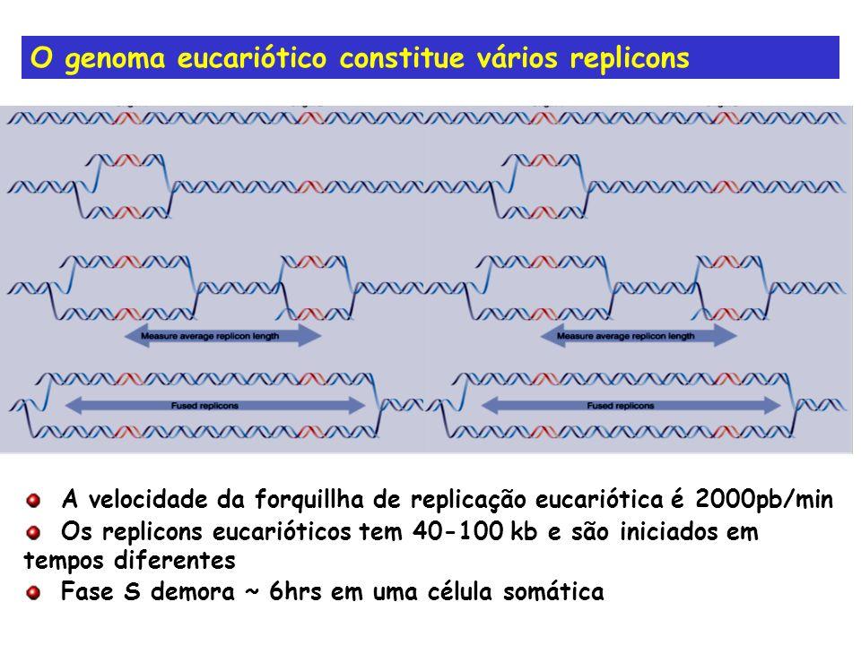 O genoma eucariótico constitue vários replicons A velocidade da forquillha de replicação eucariótica é 2000pb/min Os replicons eucarióticos tem 40-100