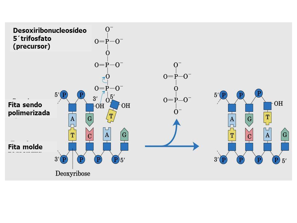 Desoxiribonucleosídeo 5´trifosfato (precursor) Fita sendo polimerizada Fita molde
