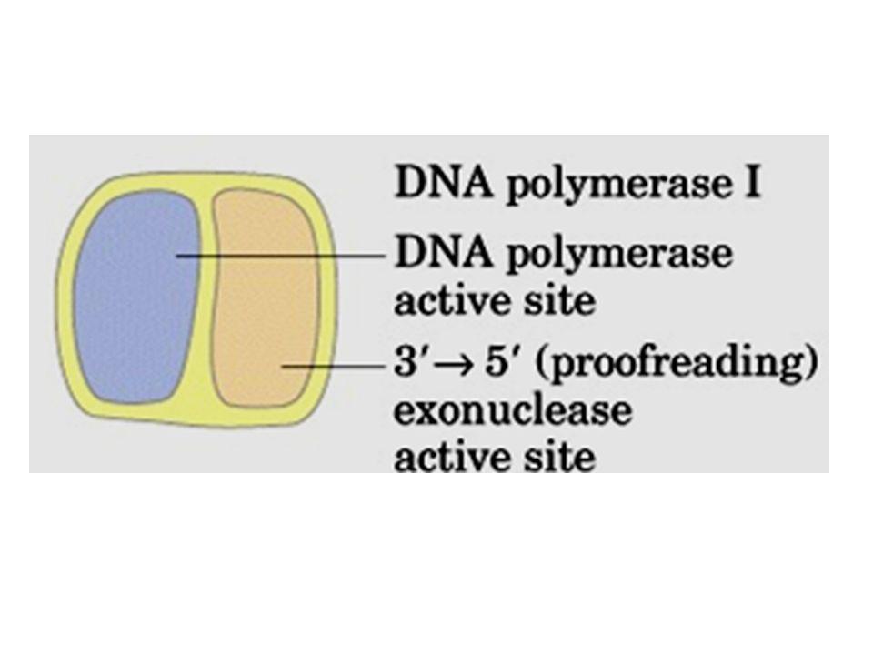 Propriedades das DNA-polimerases Bacterianas Pol IPolIIPolIII Polimerização 5 3 + + + Exonuclease 3 5 + + + Exonuclease 5 3 + - - Número de subunidades 1 4 10 Tamanho em kDa 103 90 ~900 Velocidade de Polimerização(nt/seg) 16-20 40 250-1000 Processividade 3-200 1500 500000 (nt adicionados antes da dissociação do molde)