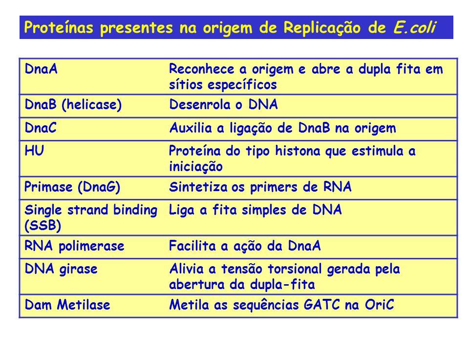 Proteínas presentes na origem de Replicação de E.coli DnaAReconhece a origem e abre a dupla fita em sítios específicos DnaB (helicase)Desenrola o DNA