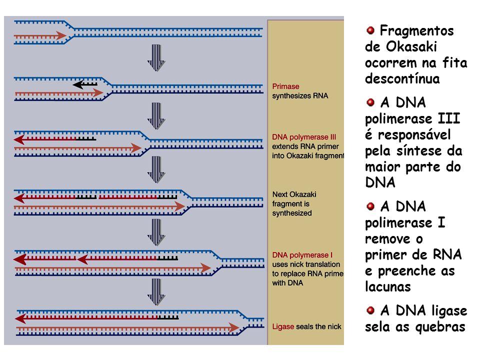 Fragmentos de Okasaki ocorrem na fita descontínua A DNA polimerase III é responsável pela síntese da maior parte do DNA A DNA polimerase I remove o pr