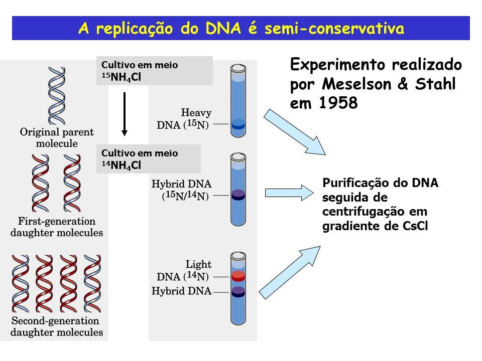 A replicação do DNA é semi-conservativa Experimento realizado por Meselson & Stahl em 1958 Cultivo em meio 14 NH 4 Cl Cultivo em meio 15 NH 4 Cl Purif