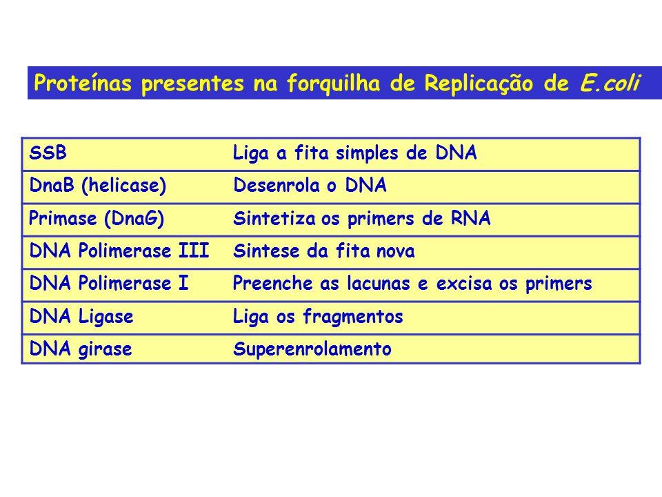 Proteínas presentes na forquilha de Replicação de E.coli SSBLiga a fita simples de DNA DnaB (helicase)Desenrola o DNA Primase (DnaG)Sintetiza os prime