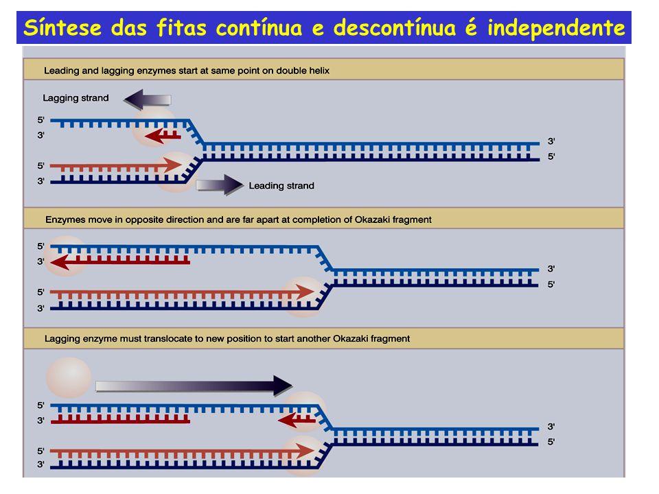 Síntese das fitas contínua e descontínua é independente