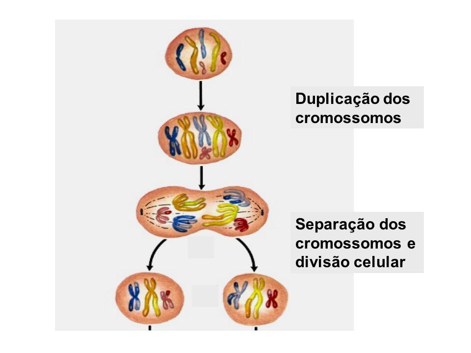 Duplicação dos cromossomos Separação dos cromossomos e divisão celular