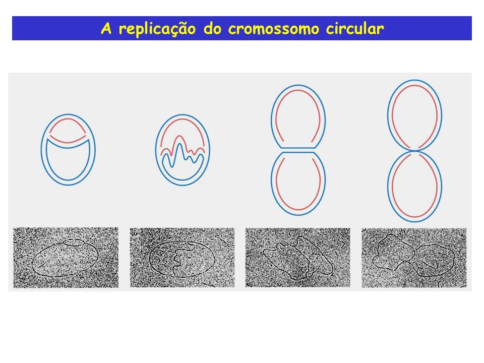 A replicação do cromossomo circular