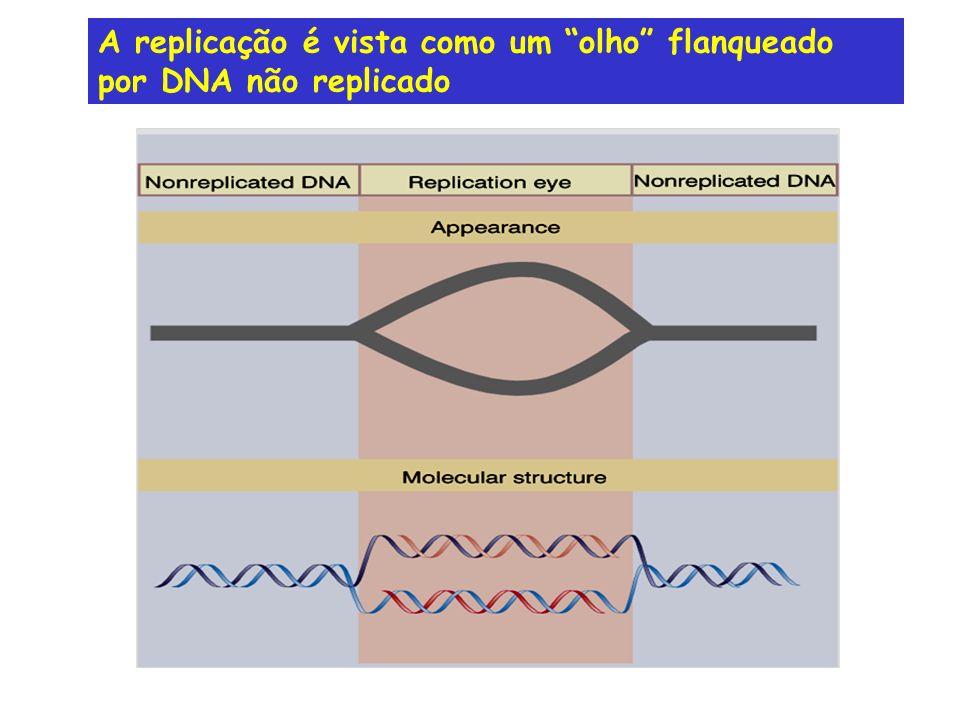 A replicação é vista como um olho flanqueado por DNA não replicado