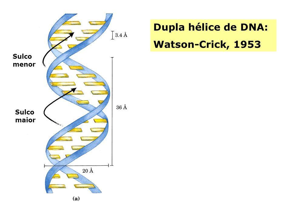 Dupla hélice de DNA: Watson-Crick, 1953 Sulco maior Sulco menor