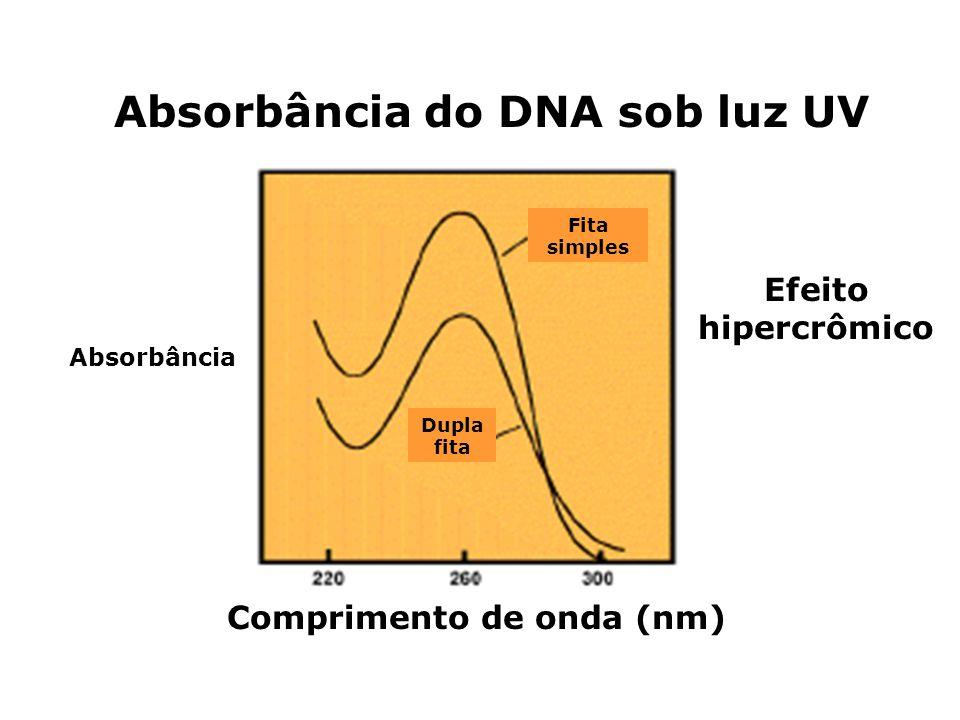 Absorbância do DNA sob luz UV Comprimento de onda (nm) Absorbância Efeito hipercrômico Fita simples Dupla fita