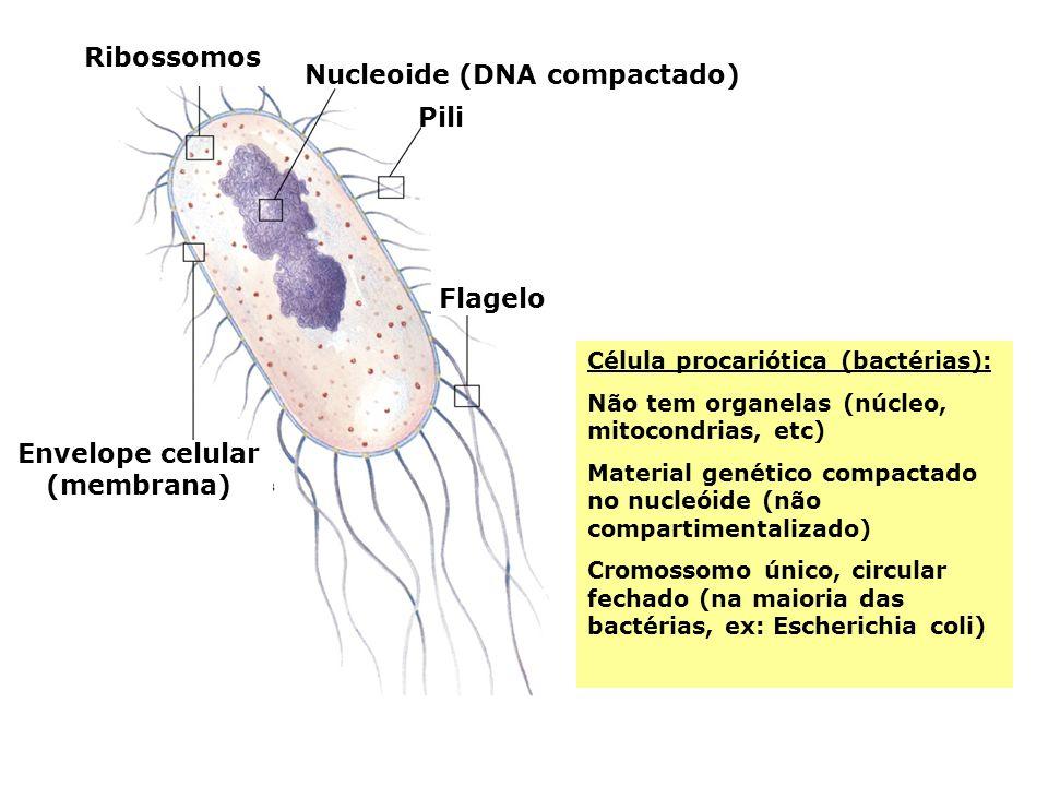 Ribossomos Nucleoide (DNA compactado) Pili Flagelo Envelope celular (membrana) Célula procariótica (bactérias): Não tem organelas (núcleo, mitocondria