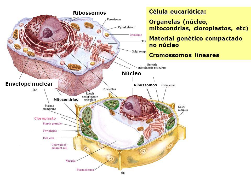 Célula eucariótica: Organelas (núcleo, mitocondrias, cloroplastos, etc) Material genético compactado no núcleo Cromossomos lineares Ribossomos Envelop