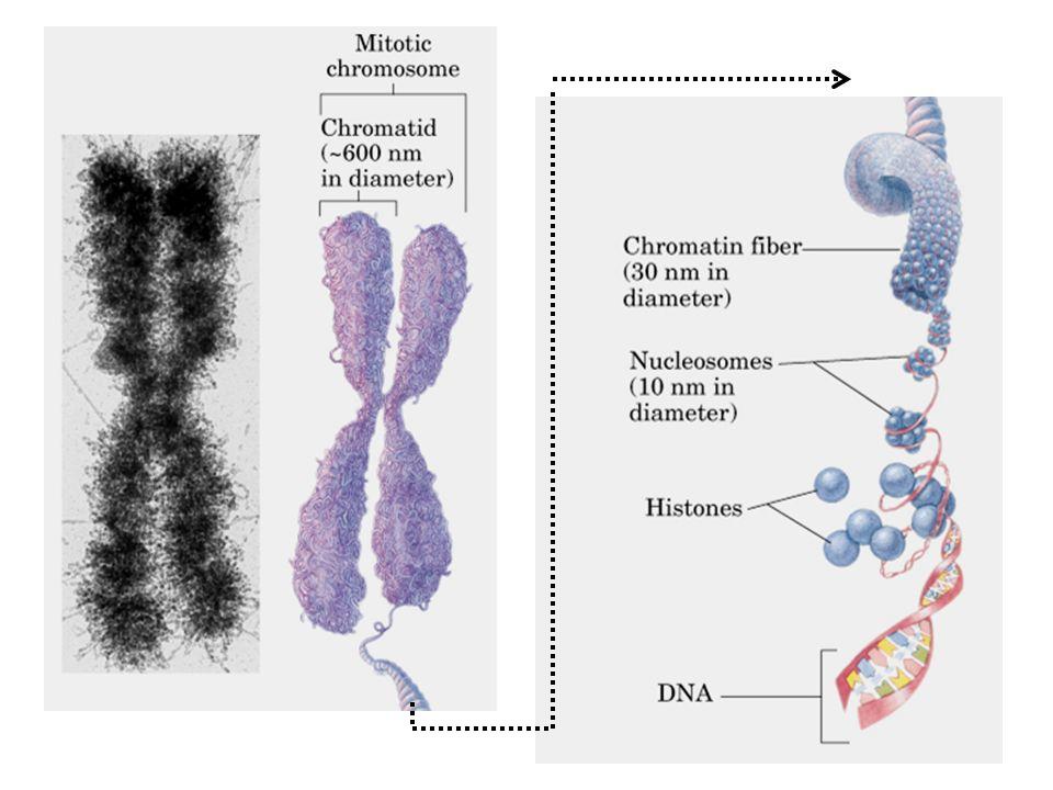 DNA fita dupla: cadeias antiparalelas