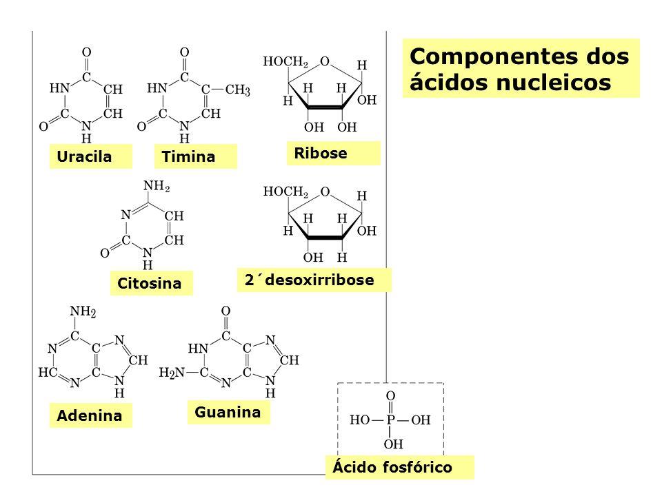 UracilaTimina Citosina 2´desoxirribose Ribose Adenina Guanina Ácido fosfórico Componentes dos ácidos nucleicos