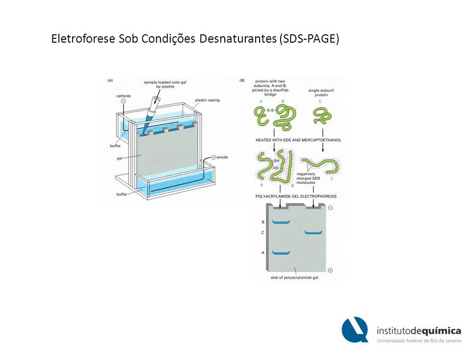 Eletroforese Sob Condições Desnaturantes (SDS-PAGE)