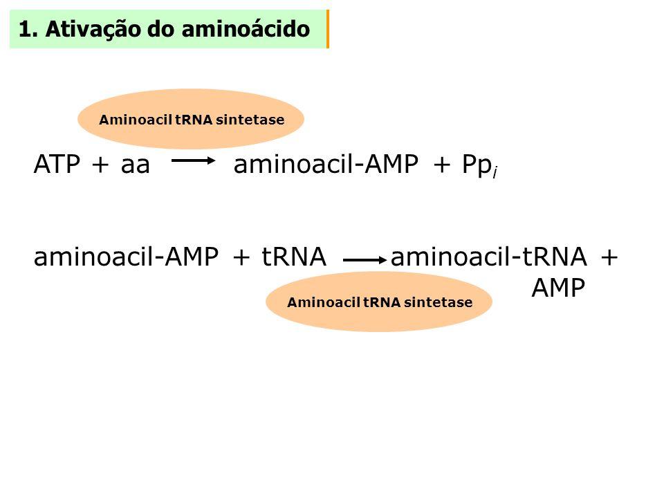 1. Ativação do aminoácido ATP + aa aminoacil-AMP + Pp i aminoacil-AMP + tRNA aminoacil-tRNA + AMP Aminoacil tRNA sintetase