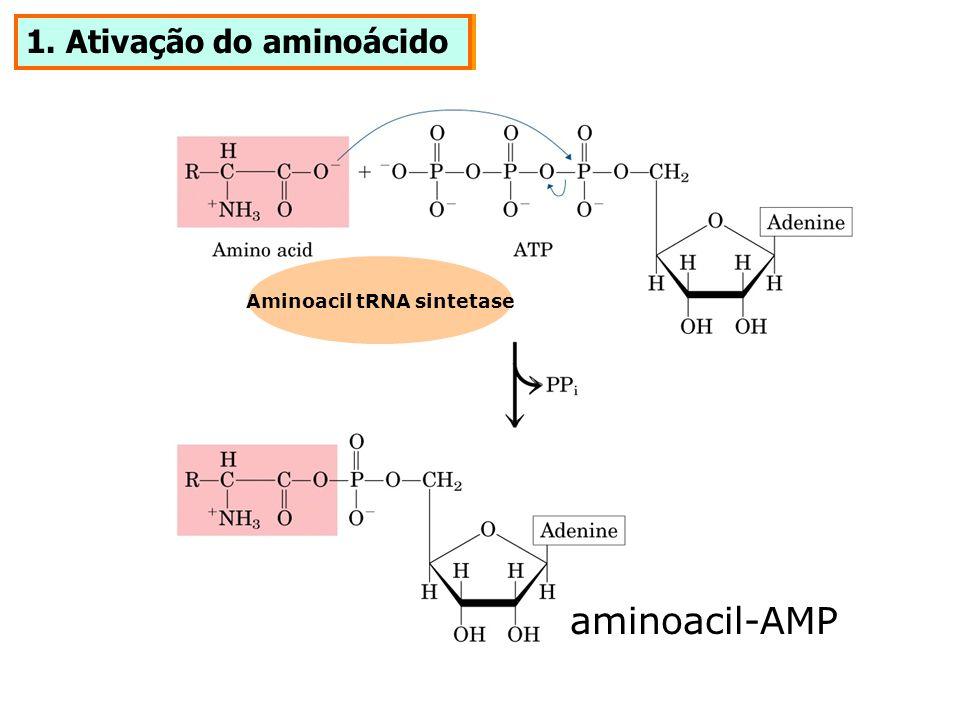 1. Ativação do aminoácido aminoacil-AMP Aminoacil tRNA sintetase