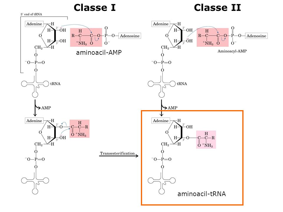 aminoacil-AMP aminoacil-tRNA Classe IClasse II