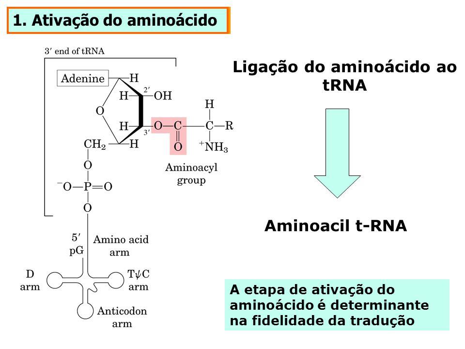 1. Ativação do aminoácido Ligação do aminoácido ao tRNA Aminoacil t-RNA A etapa de ativação do aminoácido é determinante na fidelidade da tradução