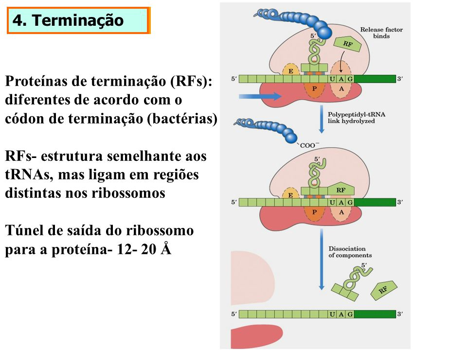 4. Terminação Proteínas de terminação (RFs): diferentes de acordo com o códon de terminação (bactérias) RFs- estrutura semelhante aos tRNAs, mas ligam