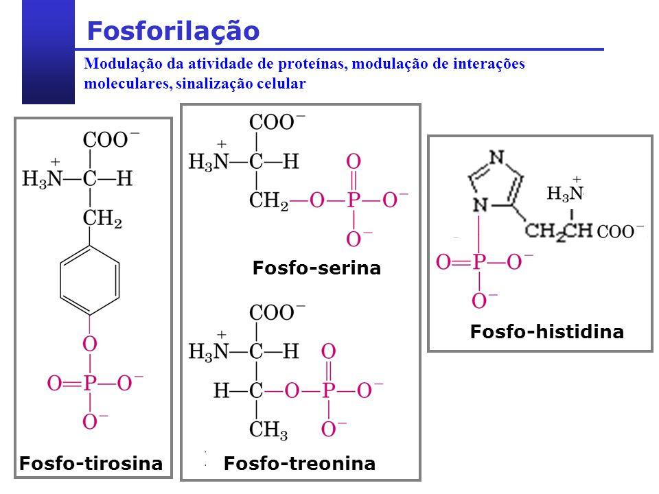 Modulação da atividade de proteínas, modulação de interações moleculares, sinalização celular Fosforilação Fosfo-serina Fosfo-treonina Fosfo-tirosina