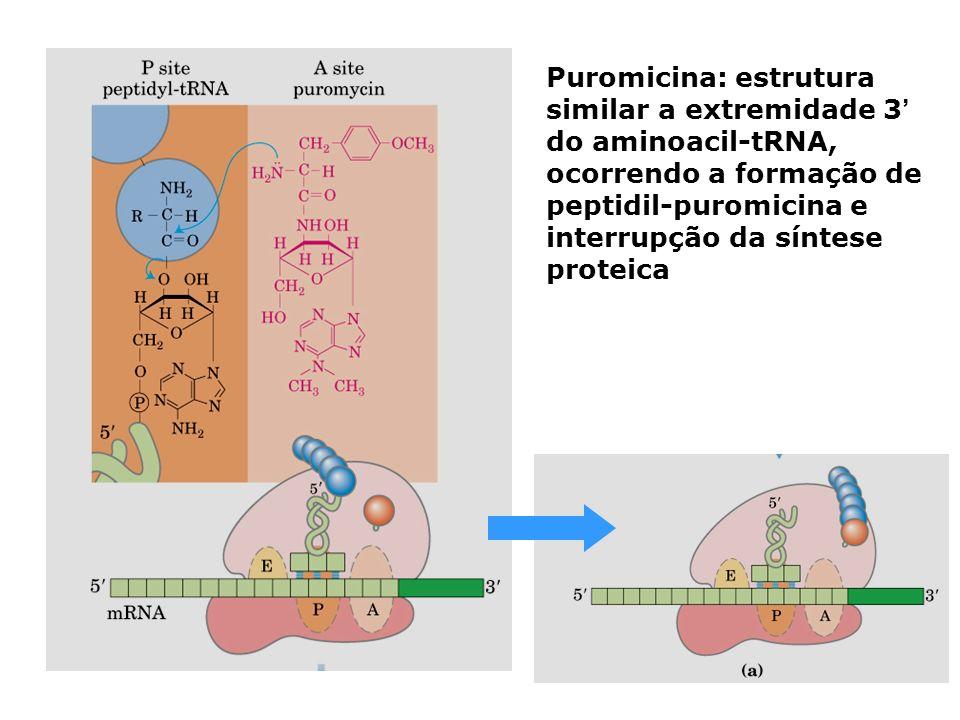 Puromicina: estrutura similar a extremidade 3 do aminoacil-tRNA, ocorrendo a formação de peptidil-puromicina e interrupção da síntese proteica