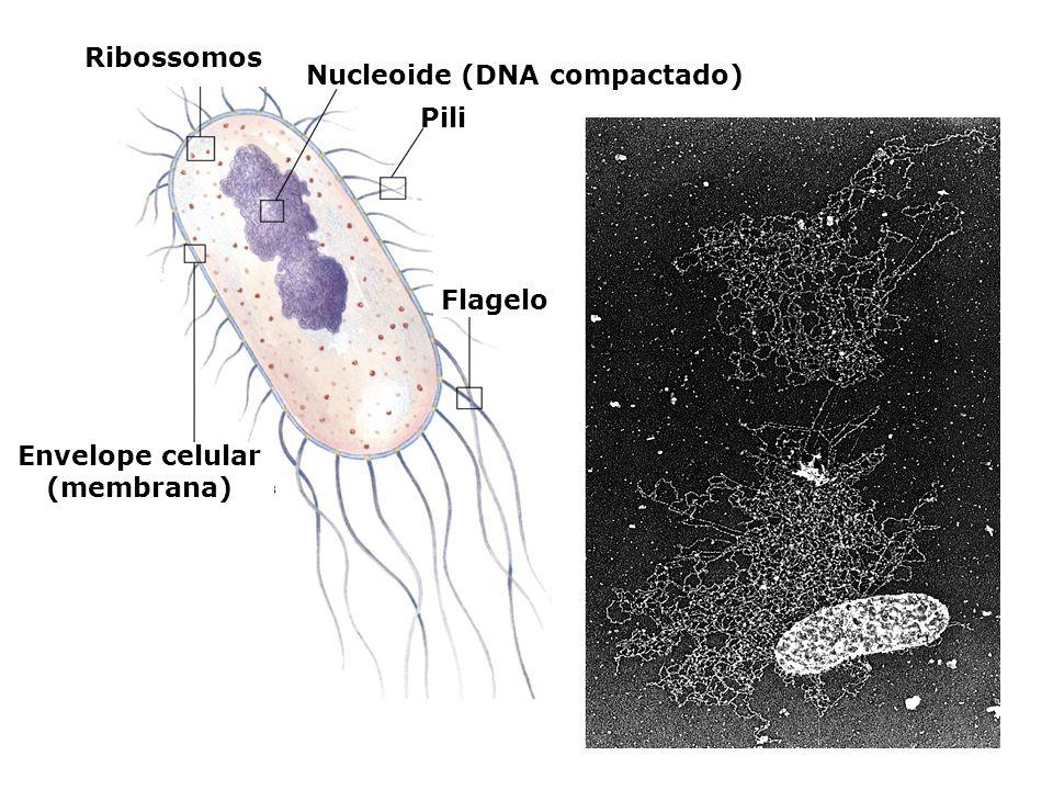 Ribossomos Nucleoide (DNA compactado) Pili Flagelo Envelope celular (membrana)