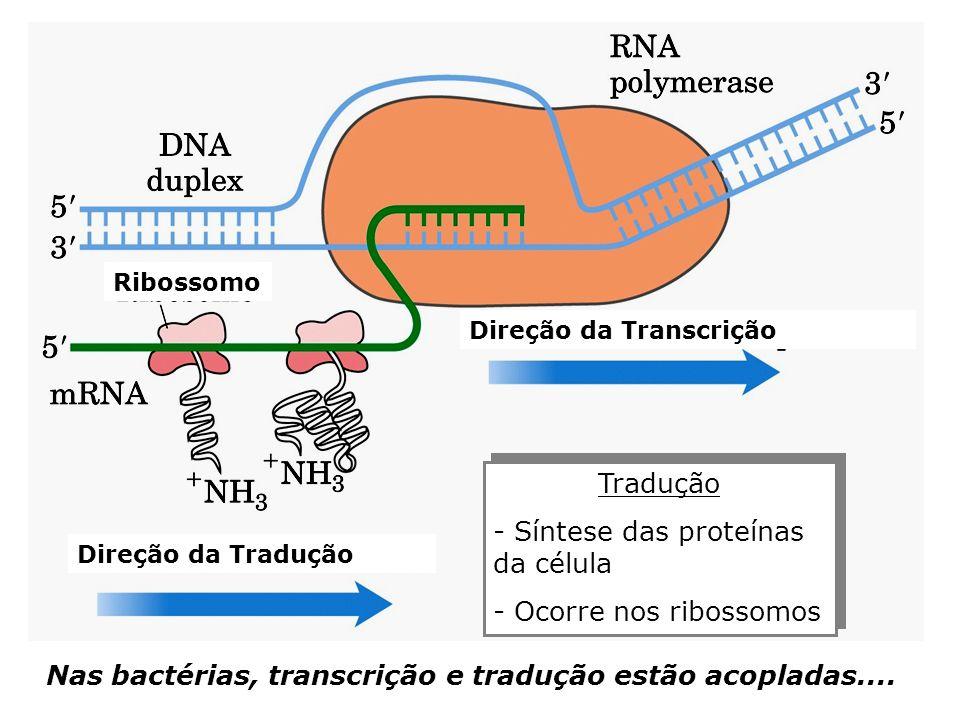 Tradução - Síntese das proteínas da célula - Ocorre nos ribossomos Tradução - Síntese das proteínas da célula - Ocorre nos ribossomos Direção da Tradu