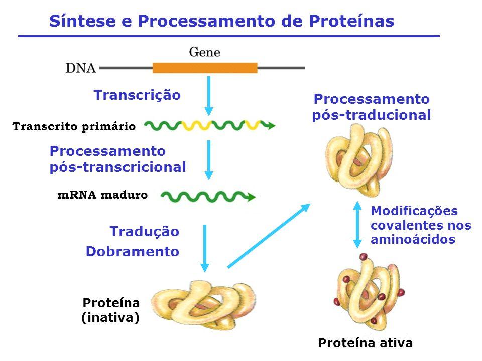 Síntese e Processamento de Proteínas Transcrito primário mRNA maduro Proteína (inativa) Tradução Transcrição Processamento pós-transcricional Dobramen
