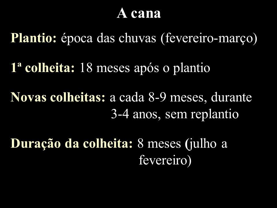 A cana Plantio: época das chuvas (fevereiro-março) 1ª colheita: 18 meses após o plantio Novas colheitas: a cada 8-9 meses, durante 3-4 anos, sem repla