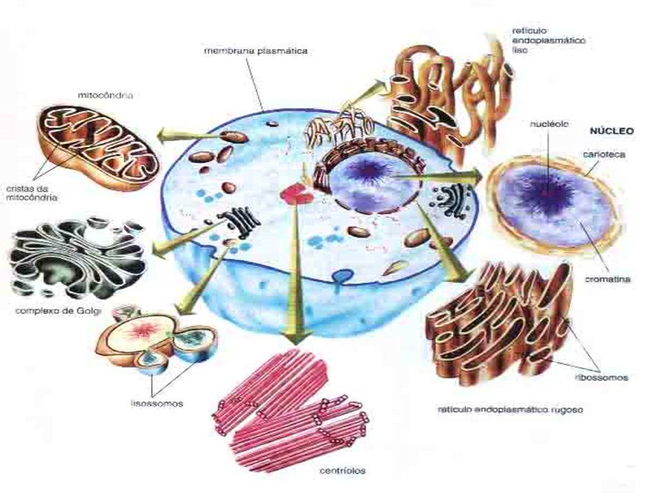 CITOPLASMA É todo o ambiente interno da célula, região entre a membrana plasmática (delimita a célula) e o envoltório nuclear.