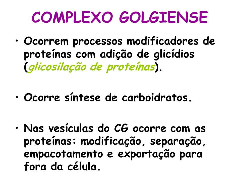 COMPLEXO GOLGIENSE Ocorrem processos modificadores de proteínas com adição de glicídios (glicosilação de proteínas). Ocorre síntese de carboidratos. N